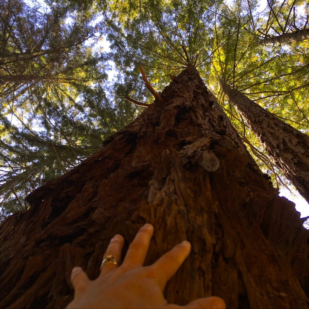 Hand on redwood tree